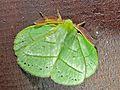 Lasiocampid Moth Trabala garuda (6985148520).jpg