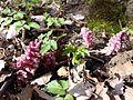Lathraea squamaria subsp. squamaria sl6.jpg