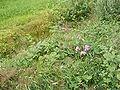 Lathyrus latifolius Brede lathyrus DSCF0404.JPG