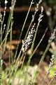 Lavandula angustifolia Grosso 1zz.jpg
