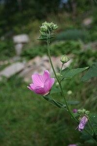 Lavatera cachemiriana2