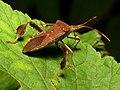 Leaf-footed Bug (31693414572).jpg