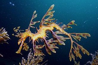 Leafy seadragon - Image: Leafy Seadragon on Kangaroo Island