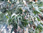 Leaves of Eucalyptus viminalis.jpg