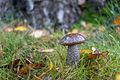 Leccinum scabrum, Lodz(Poland)01(js).jpg