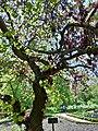 Leguminosae Cercos Silquastrum Árbol de Amor in Madrid.jpg