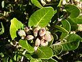 Lemonadeberry Rhus integrifolia in bloom, MBSP.jpg