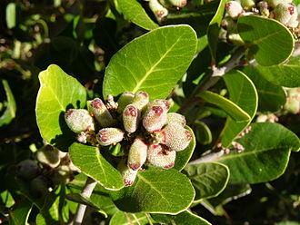 Rhus integrifolia - Lemonadeberry bush in bloom, Morro Bay State Park