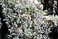 Leontopodium leontopodinum - GBA Viote 52.jpg