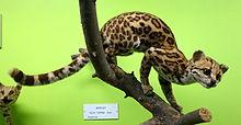 Leopardus tigrinus (Felis tigrina) - Museo Civico di Storia Naturale Giacomo Doria - Genua, Italië - DSC02677.JPG