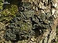 Leptogium corticola - Flickr - pellaea.jpg