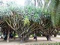 Les dragonniers - Jardin d'essai El Hamma - Alger.JPG