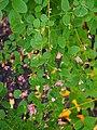 Lespedeza bicolor 2017-10-15 04.jpg