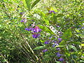 Lespedeza bicolor at Tsukuba.jpg