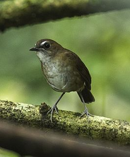 Lesser Shortwing - Gunung Gede - West Java, Indonesia.jpg