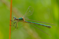 Lestes sponsa female 1.png
