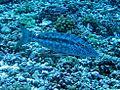 Lethrinidae - Lethrinus olivaceus-002.JPG
