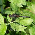 Leucorrhinia proxima (Belted Whiteface) - Flickr - S. Rae.jpg