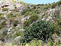 Leucospermum conocarpodendron viridium - Fishhoek.JPG