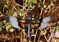 Libellula luctuosa-Male-7.jpg