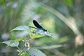 Libellule bleu (Odonates).jpg