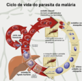 Life Cycle of the Malaria Parasite-pt.png