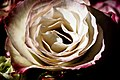 Light on Dark Rose (3692609768).jpg