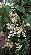 Ligustrum lucidum blossoms - άνθη λιγούστρου.jpg