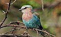Lilac-breasted Roller, Coracias caudatusat Pilanesberg National Park, Northwest Province, South Africa (17295697560).jpg