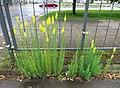 Linaria vulgaris, Tallinn.jpg