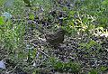 Lincoln's Sparrow (8002117248).jpg