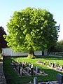 Linde auf dem Friedhof (Ostheim) 05.JPG
