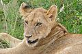 Lion (Panthera leo) young (17155644858).jpg