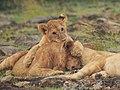 Lions @ Maasai Mara (20792248316).jpg
