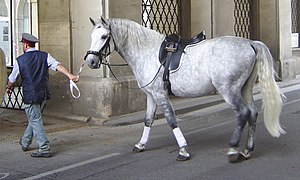 Lipizzan - This young Lipizzan stallion is midway through the graying process