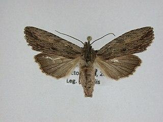 <i>Lithophane signosa</i> species of insect