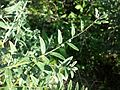Lithospermum officinale sl11.jpg