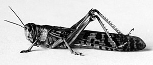 Locust from the 1915 Locust Plague