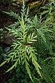 Lomatia silaifolia kz01.jpg