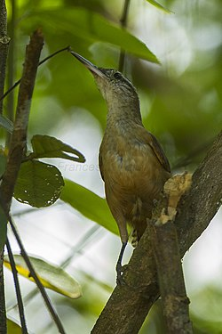 Long-billed Wren - REGUA - Brazil S4E0970 (12930751403).jpg