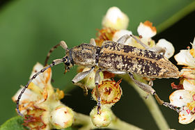 Longicorn beetle - ancita sp.jpg
