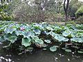 Lotus in Zhuozhengyuan Garden.JPG
