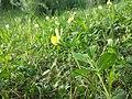 Lotus maritimus (var. siliquosus) sl26.jpg