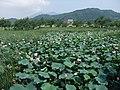 Lotus of Hojo-pond, Tsukuba - panoramio.jpg