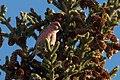 Loxia leucoptera (31032388337).jpg