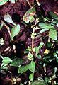 Ludwigia palustris lupa 001 pvp.jpg
