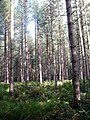 Lumberpit Wood - geograph.org.uk - 1530172.jpg