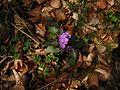 Lunaria annua L. Mesečnica, srebrenka, biserak, srebrno cveće.jpg