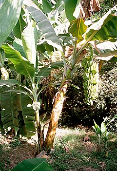 Luxor, Banana Island, Banana Tree, Egypt, Oct 2004.jpg
