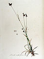 Luzula multiflora — Flora Batava — Volume v13.jpg
